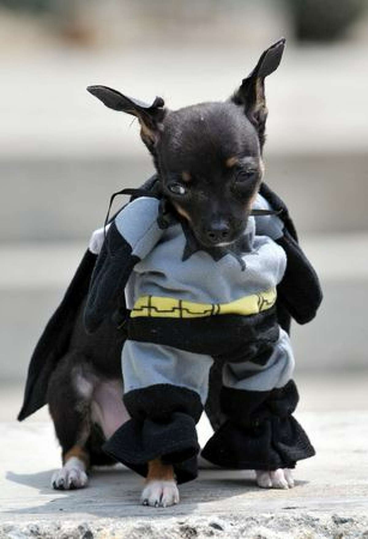 A dog dressed as Batman participates in the Family Pet festival in Cali, department of Valle del Cauca, Colombia.