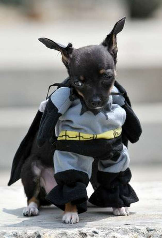 A dog dressed as Batman participates in the Family Pet festival in Cali, department of Valle del Cauca, Colombia. Photo: Getty Images / Getty Images