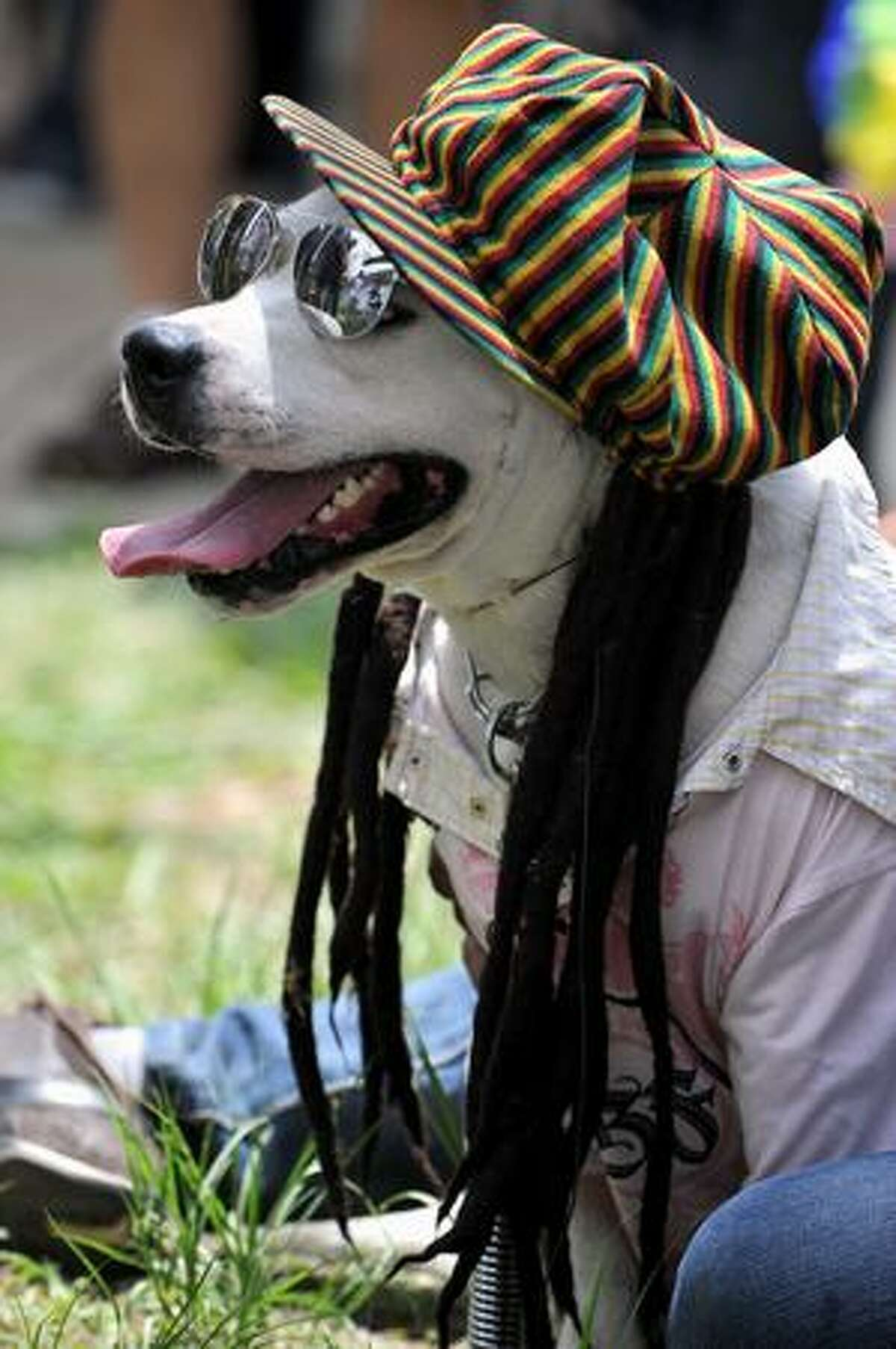 A dog dressed as a rastafarian participates in the Family Pet festival in Cali, department of Valle del Cauca, Colombia.