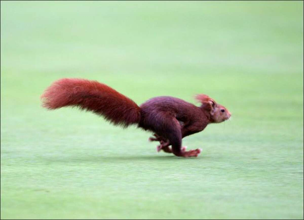 A squirrel runs across a green during the first round of the Castello Masters Costa Azahar at the Club de Campo del Mediterraneo in Castello, Spain.