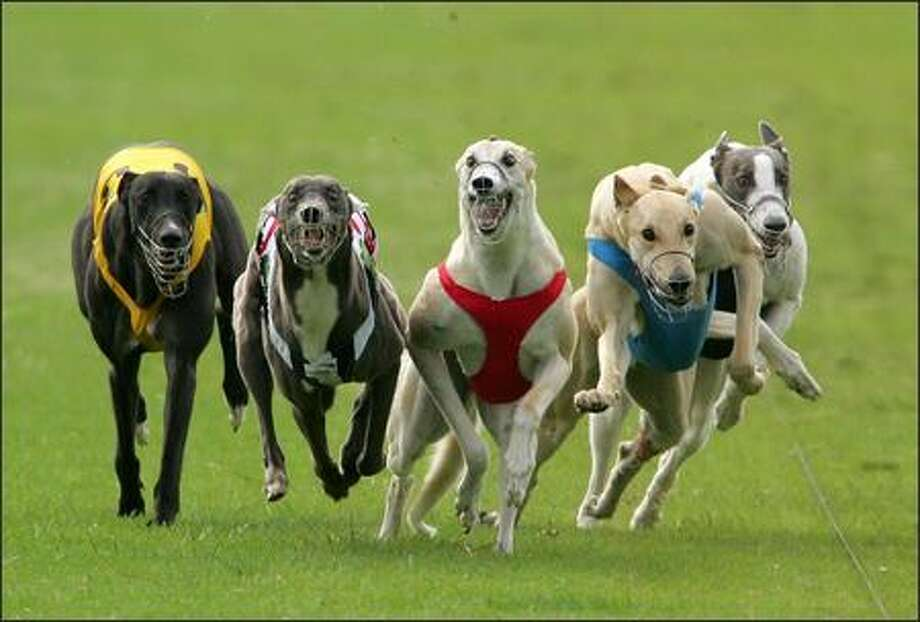 Greyhounds race in heat 3 of the Market Egg Supplies Cup at the Appin Way race meeting in Sydney, Australia. (Photo by Ezra Shaw/Getty Images)