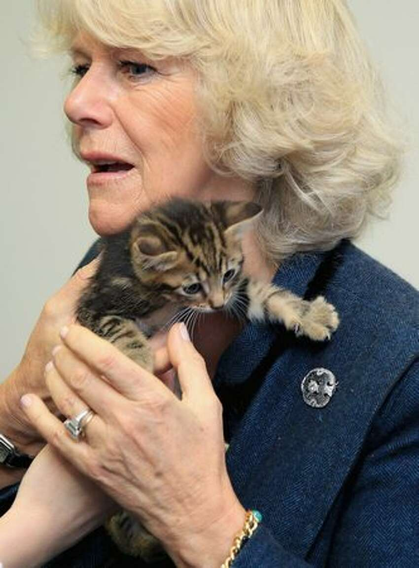 Lucy the kitten gets her claws stuck in Camilla, Duchess of Cornwall's jacket, as an aide helps her get the kitten off at Battersea Dog and Cat's Home in London, England. This was the Duchess's first visit to the home.
