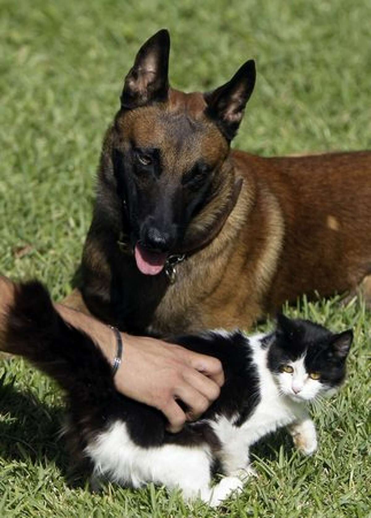 Professional dog trainer Hayssam Chedid places a cat in front of a dog during an obedience training session at the K9 school and hospital of the Middle East Kennel Cub at Nahr al-Kalb area, north of Beirut.