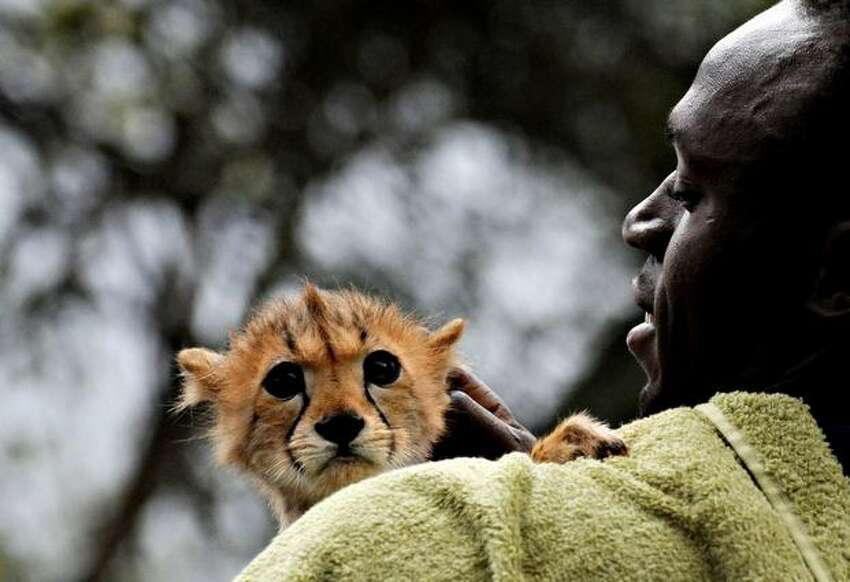 World and Olympic sprint champion Usain Bolt holds a cheetah cub at the headquarters of the Kenyan Wildlife Service in Nairobi.