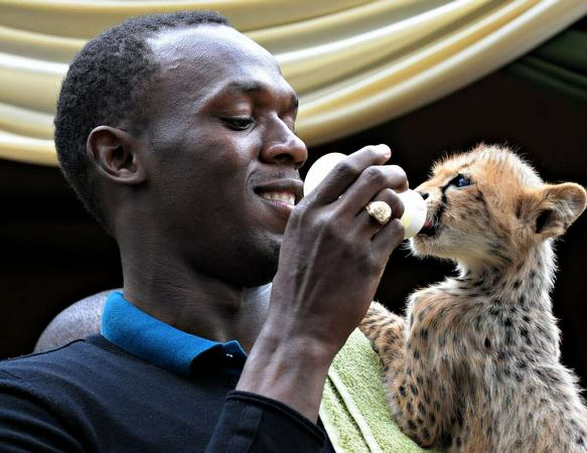 World and Olympic sprint champion Usain Bolt feeds a cheetah cub with a bottle at the headquarters of the Kenyan Wildlife Service in Nairobi.