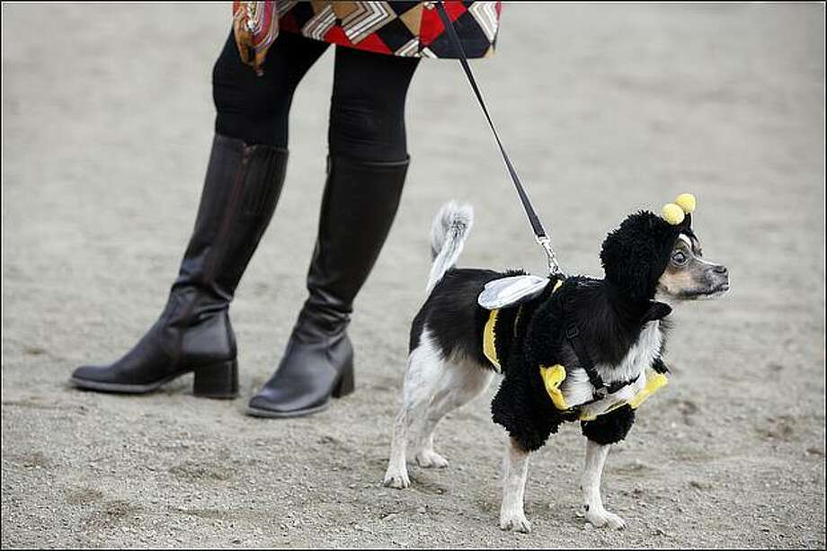 Johnnie B. Goode, a chihuahua, rat terrier mix at Dogoween. Photo: Paul Joseph Brown, Seattle Post-Intelligencer / Seattle Post-Intelligencer