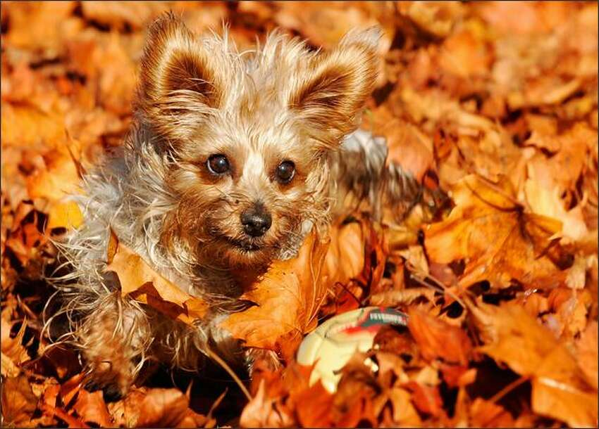 A Yorkshire terrier named Loki plays with a ball through the fallen leaves at the Olympia Park in the southern German city of Munich.