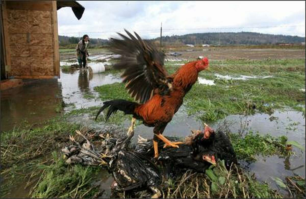 A rooster perches on companions drowned by Snoqualmie River floodwaters near Fall City. Behind, Mee Vang digs a ditch to drain water pooled around the coup where half of her chickens died.