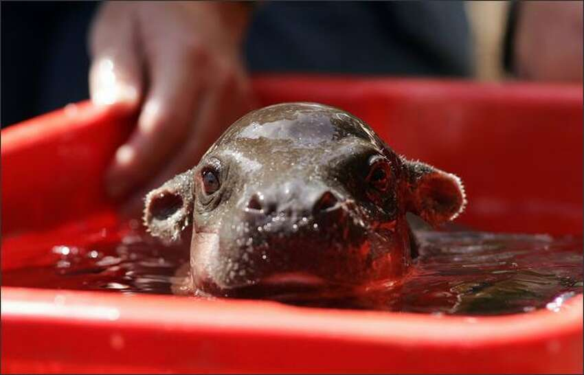Monifa, a one month old baby Pygmy Hippopotamus takes a morning bath at Taronga Zoo in Sydney, Australia. Monifa is the first Pygmy Hippopotamus to be born at Taronga Zoo in the past twenty three years.