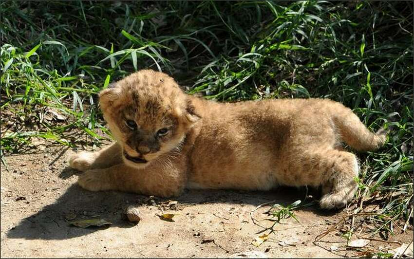 One of three lion cubs born in captivity two weeks ago is seen resting at the Zoo in Cali, department of Valle del Cauca, Colombia.