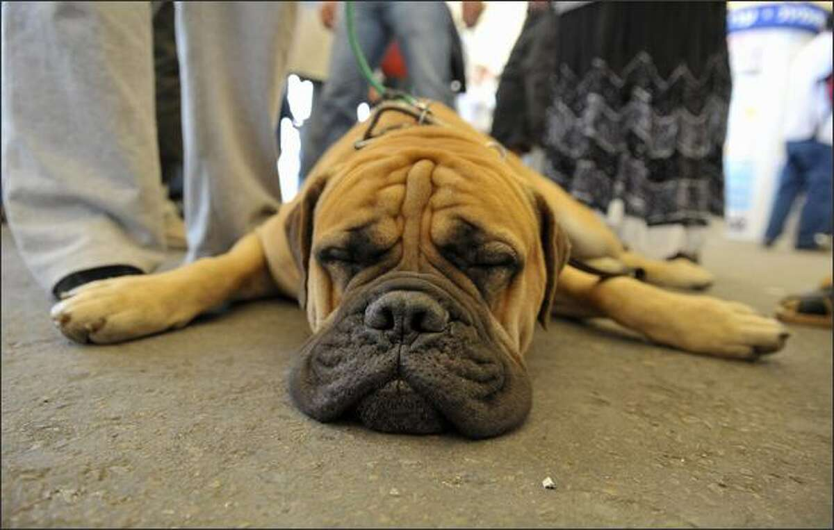 A dog takes a nap during a CACIB international dog show in the southern Israeli town of Arad. Dogs and puppies from around the world competed for prizes at an international dog show in the Israeli town of Arad.