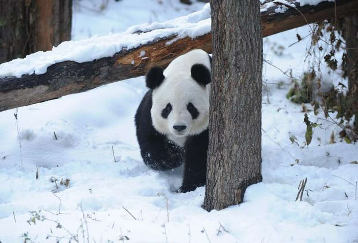 A giant panda is pictured at a zoo after a heavy snowfall in Beijing.