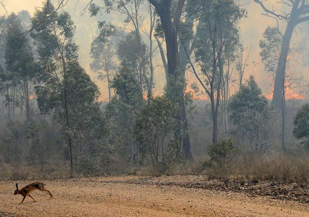 A rabbit (lower L) flees a bushfire near the town of Rylstone, northwest of Sydney, Australia. Hundreds of residents in eastern Australia were on alert as out-of-control wildfires fanned by soaring temperatures and windy conditions threatened several towns.