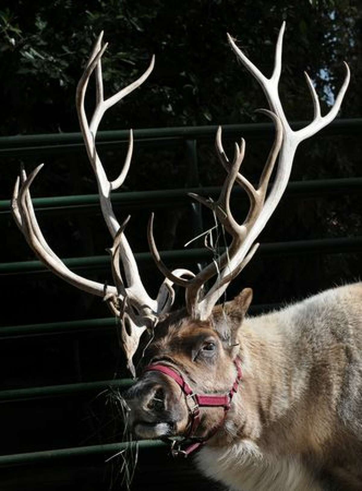 """A reindeer named """"Noah"""" eats in his new enclosure at the Los Angeles Zoo after arriving from Alaska for the """"Reindeer Romp"""", an annual Christmas holiday event held at the zoo until the New Year."""