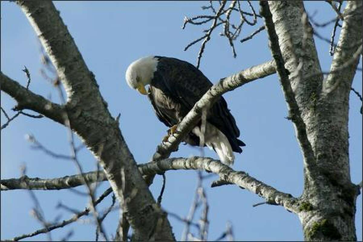 Among the wildlife visitors can spot in Seattle's Seward Park are magnificent bald eagles.