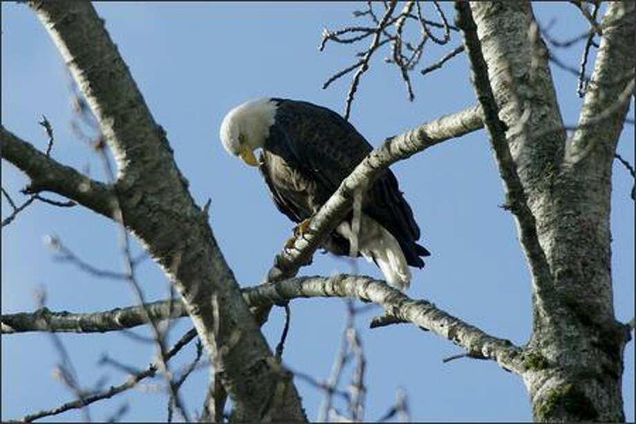 Among the wildlife visitors can spot in Seattle's Seward Park are magnificent bald eagles. Photo: Dan DeLong, Seattle Post-Intelligencer / Seattle Post-Intelligencer