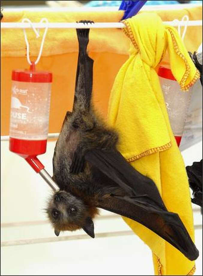 A Baby Flying Fox (Pteropus) hangs from a clothes line and is able to feed itself at a temporary bat rehabilitation centre on the Gold Coast, Australia. Wildcare Australia's Head Bat Coordinator, Trish Wimberley has been caring for the flying foxes following storms that ripped through the Gold Coast hinterland causing hundreds of the babies to lose their mothers. Wildcare Australia volunteers are providing 24hour support for the flying foxes until they are strong enough to be released into the wild. Photo: Getty Images / Getty Images