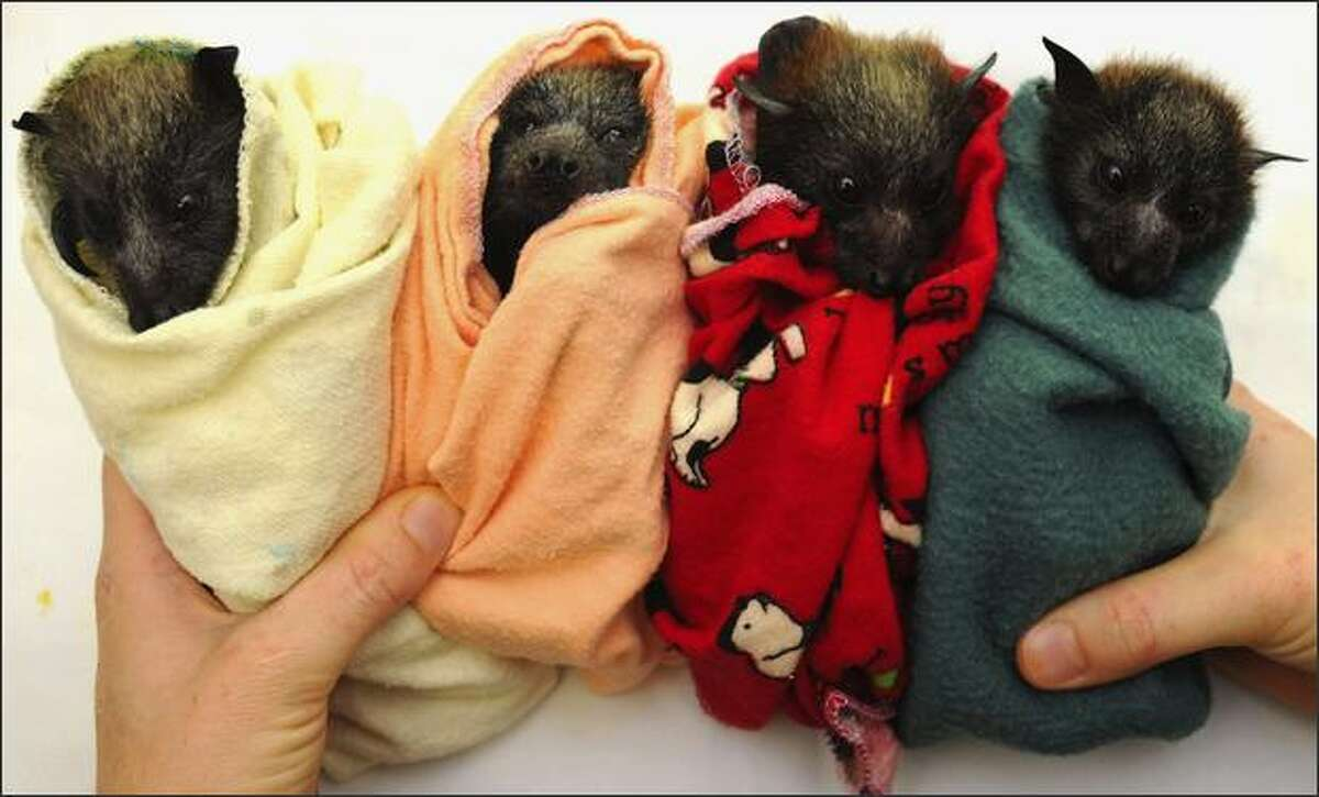 Four Baby Flying Foxes (Pteropus) are prepared to be fed at a rehabilitation centre on the Gold Coast, Australia. Wildcare Australia's Head Bat Coordinator, Trish Wimberley has been caring for the flying foxes following storms that ripped through the Gold Coast hinterland causing hundreds of the babies to loose their mothers. Wildcare Australia volunteers are providing 24hour support for the flying foxes until they are strong enough to be released into the wild.