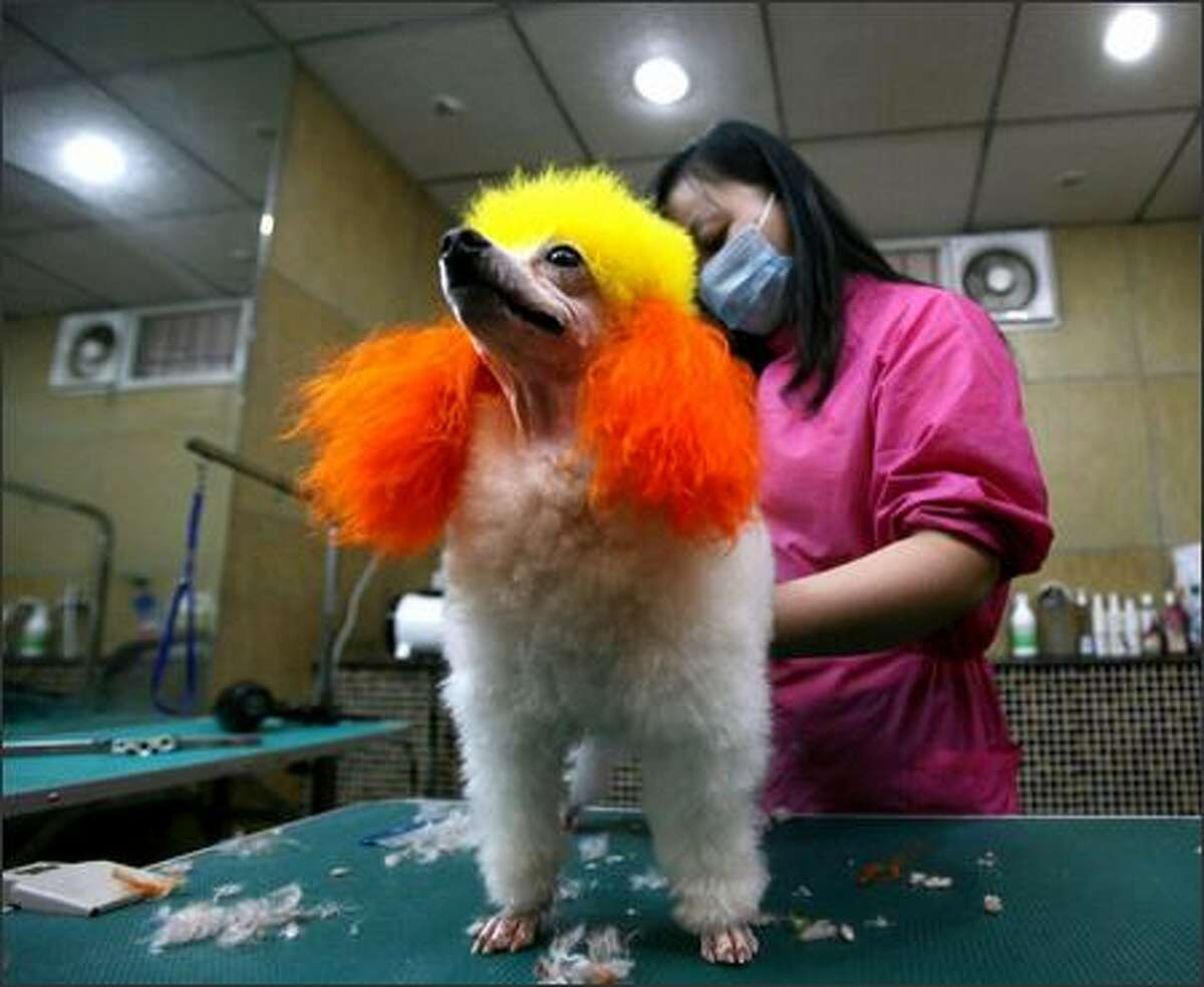 A pet beautician shapes a poodle during a training class at a pet grooming school onFriday in Chongqing Municipality, China. The country's pet population is growing fast with analysts predicting that the market potential for the