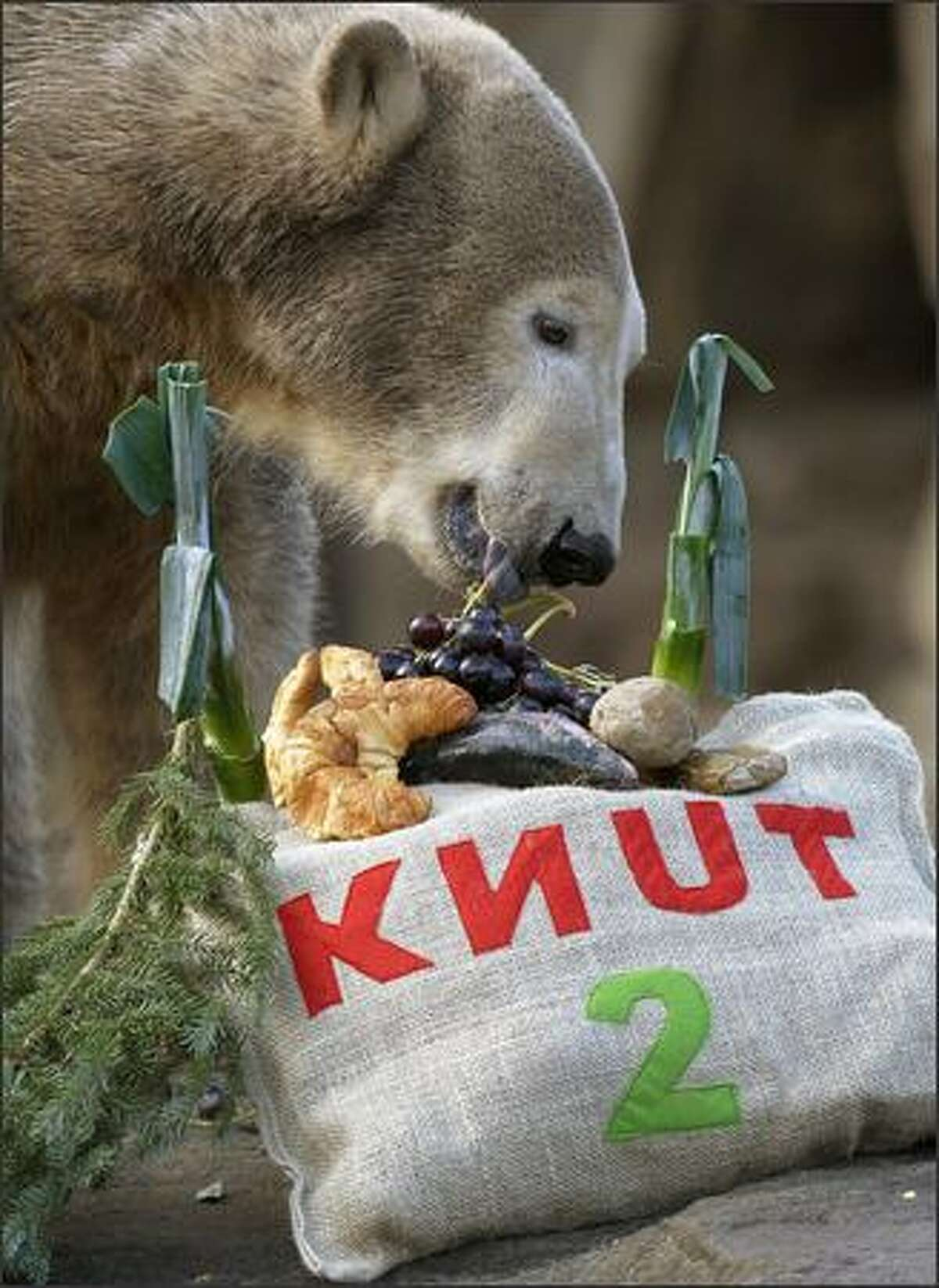 Polar bear Knut discovers his birthday