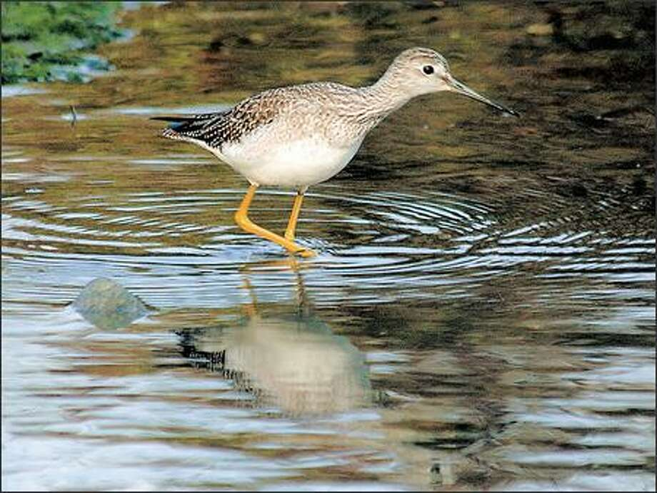 A greater yellowlegs stalks the shoreline of the Esquimalt Lagoon in Colwood. Photo: Jeff Larsen, Seattle Post-Intelligencer / Seattle Post-Intelligencer