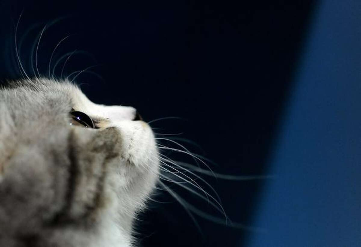 A kitten is pictured during a cat exhibition in Moscow.