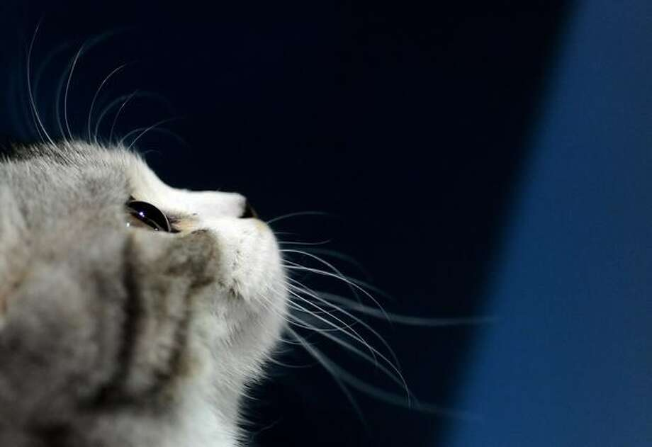 A kitten is pictured during a cat exhibition in Moscow. Photo: Getty Images / Getty Images