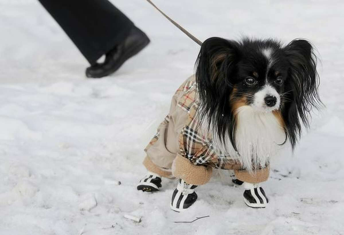 A dog wearing a special coat and boots to protect it from the cold goes for a walk in Moscow.