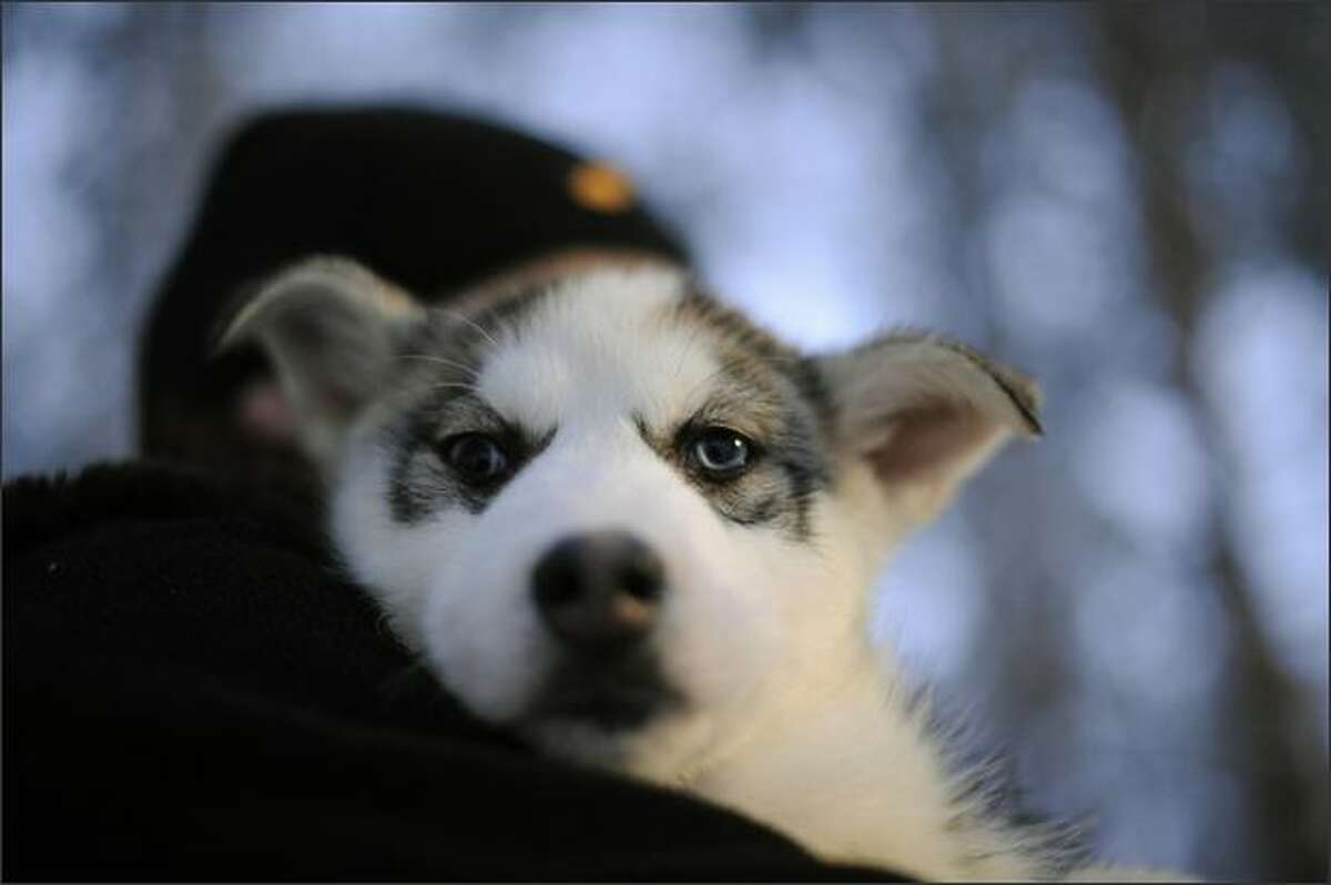 A Siberian Husky pup is carried out of his cage, in a Husky farm in Rovaniemi. Husky is a general term for several breeds of dogs used as sled dogs. Huskies were originally used as sled dogs in northern regions but are now also kept as pets. Historically, the word