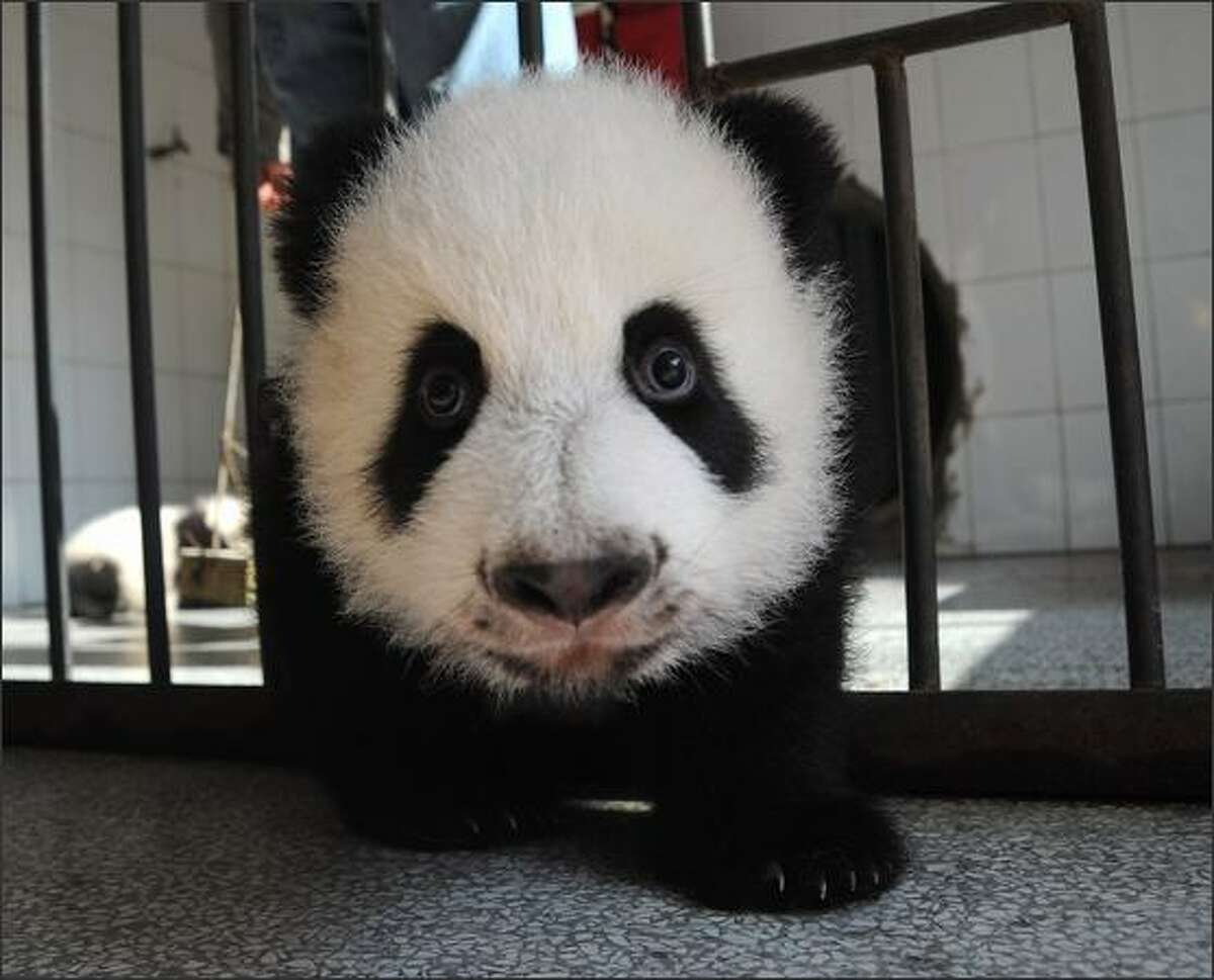 A little giant panda, three-month-old, plays in its pen at the Bifengxia base of China Giant Panda Protection and Research Center in Yaan of Sichuan Province, China. Much to the delight of conservation biologists and zoo enthusiasts, thirteen panda cubs have been born at the Bifengxia base since the May 12 earthquake hit the province of Sichuan which destroyed many critical panda habitats.