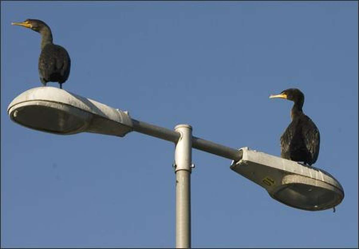 A pair of cormorants perch atop a lamp post near the locks.