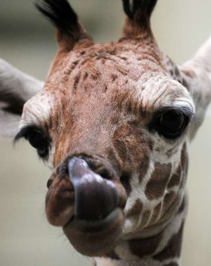 "The baby giraffe ""Tebogo"" licks her snout in her enclosure at the zoo of Frankfurt/Main, central Germany, during its presentation to the public on Wednesday. The baby giraffe was born on December 9, 2010 and weight 82 kilogramme at its birth. Photo: Getty Images / Getty Images"