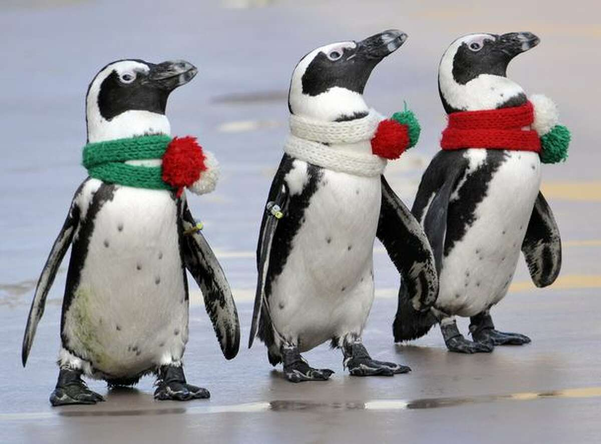 Cape penguins wearing Christmas-style scarves walk together at the Hakkeijima Sea Paradise aquarium in Yokohama, suburban Tokyo.