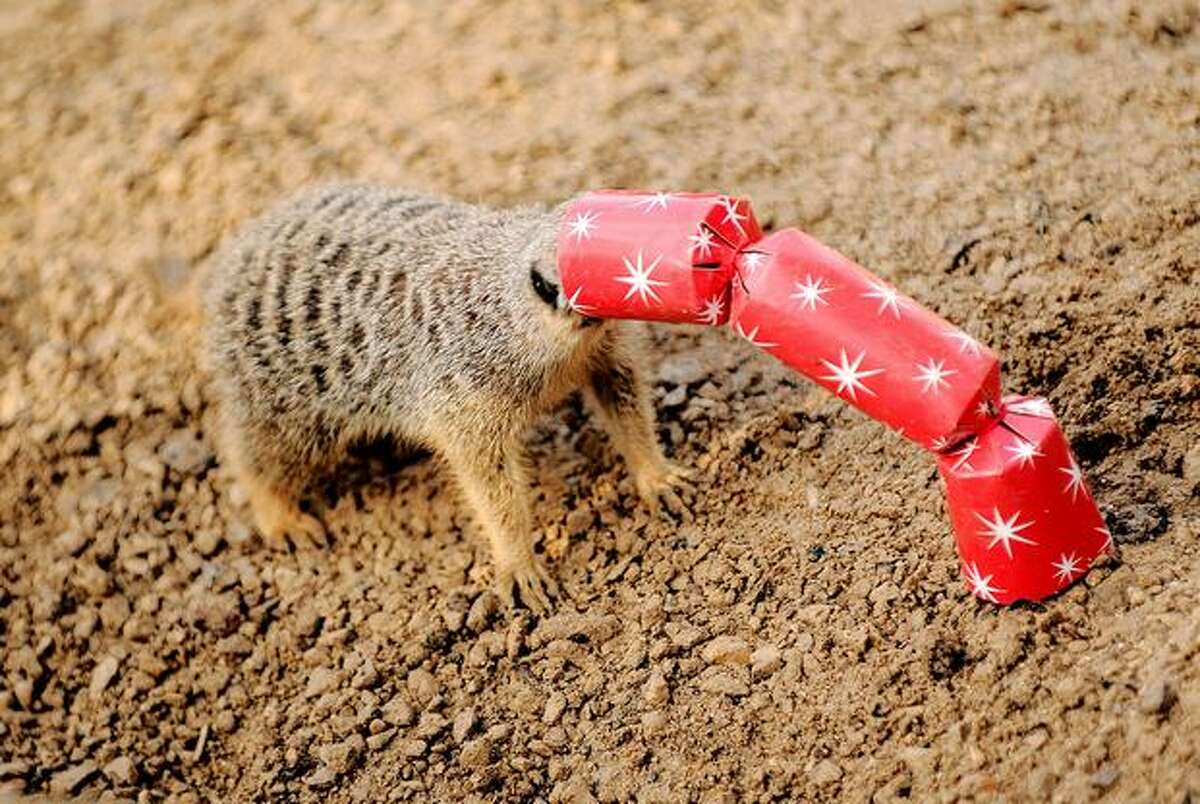 A meerkat gets its head stuck in cracker as it tries to reach meal worms and locusts inside it during a photocall at London Zoo.