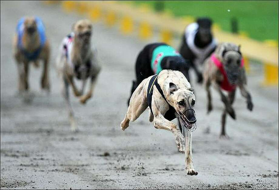 Cawbourne Tiger races home to win the Jack's Wholesale Meats Stake during the 2009 Greyhound Auckland Cup meeting at Manukau Greyhound Racing Club in Auckland, New Zealand. (Photo by Sandra Mu/Getty Images)