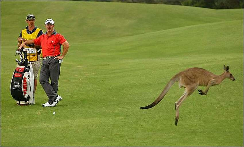 Peter Lonard of Australia watches a kangaroo jump past during day two of the Australian PGA Championship at the Hyatt Regency Resort at Coolum Beach, Australia. (Photo by Cameron Spencer/Getty Images)