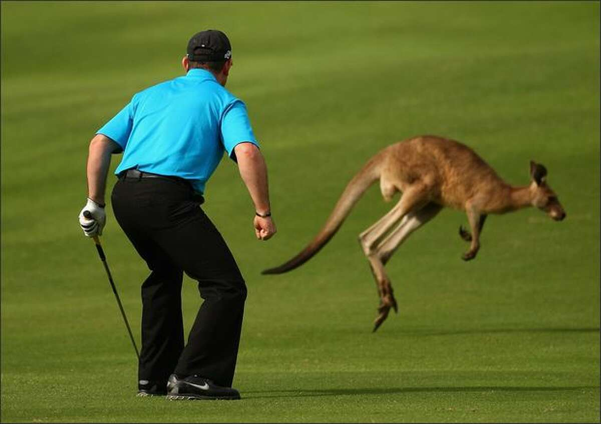 Rory Sabbatini of South Africa scares a kangaroo off the 12th fairway prior to playing his stroke during the first round of the Australian PGA Championship at the Hyatt Regency Resort in Coolum Beach, Australia. (Photo by Cameron Spencer/Getty Images)