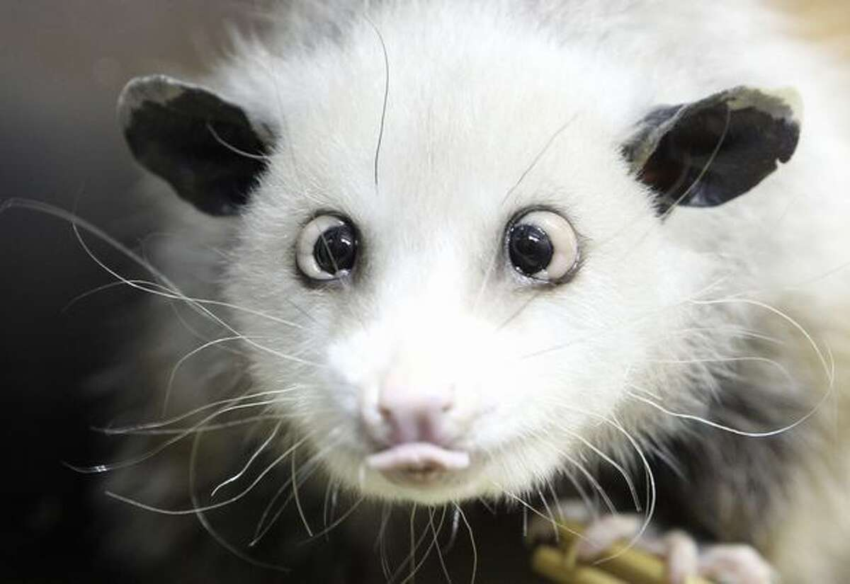 In this file photo, a cross-eyed opossum (didelphis) called Heidi sits in her interim enclosure, in the zoo in Leipzig, Germany. Heidi the cross-eyed opossum is the latest creature to rocket from Germany's front pages to international recognition, capturing the world's imagination with her bright, black eyes turned toward her pointed pink nose. (AP Photo/dapd, Sebastian Willnow, File)