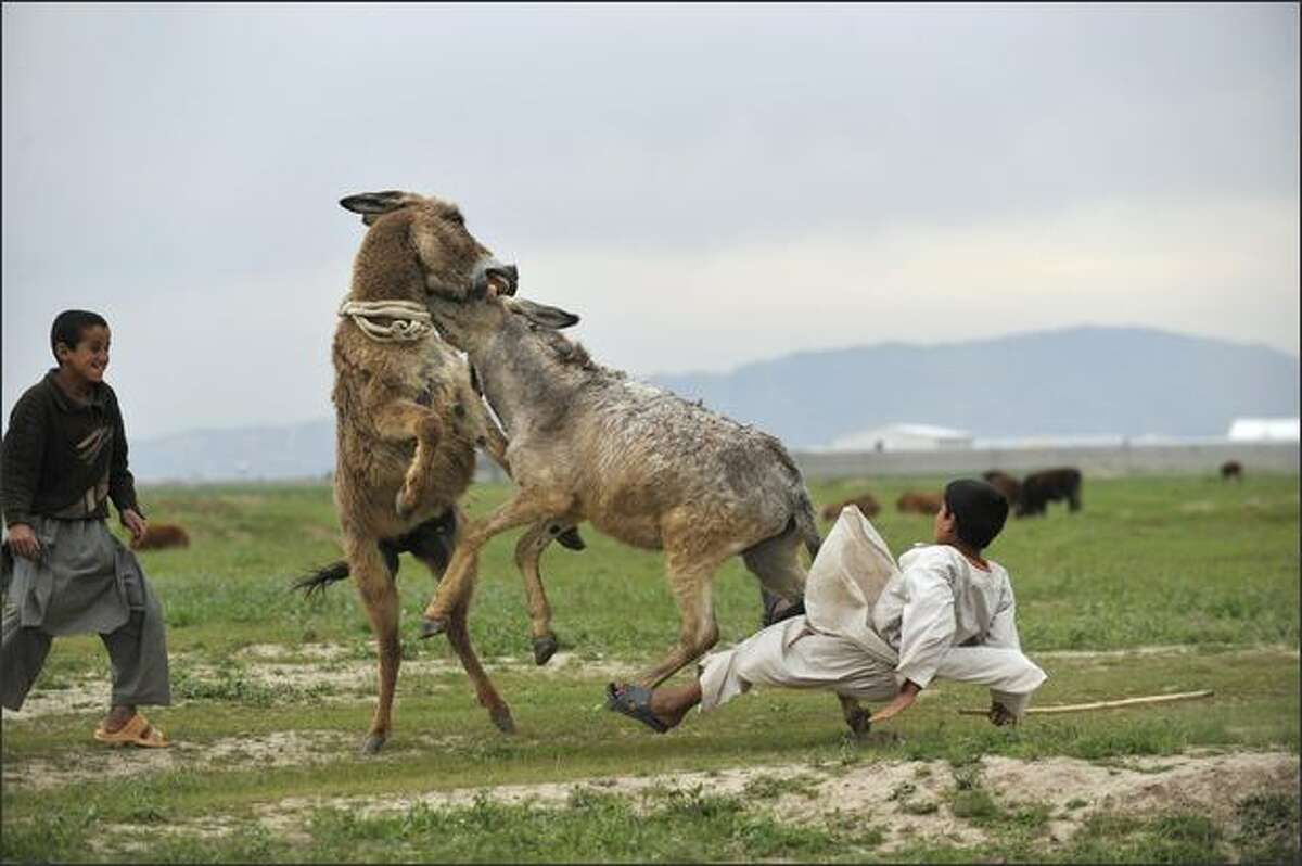 An Afghan boy falls of his donkey after he forced the animals into a fight outside the German armed forces Bundeswehr camp in Kunduz, northern Afghanistan.