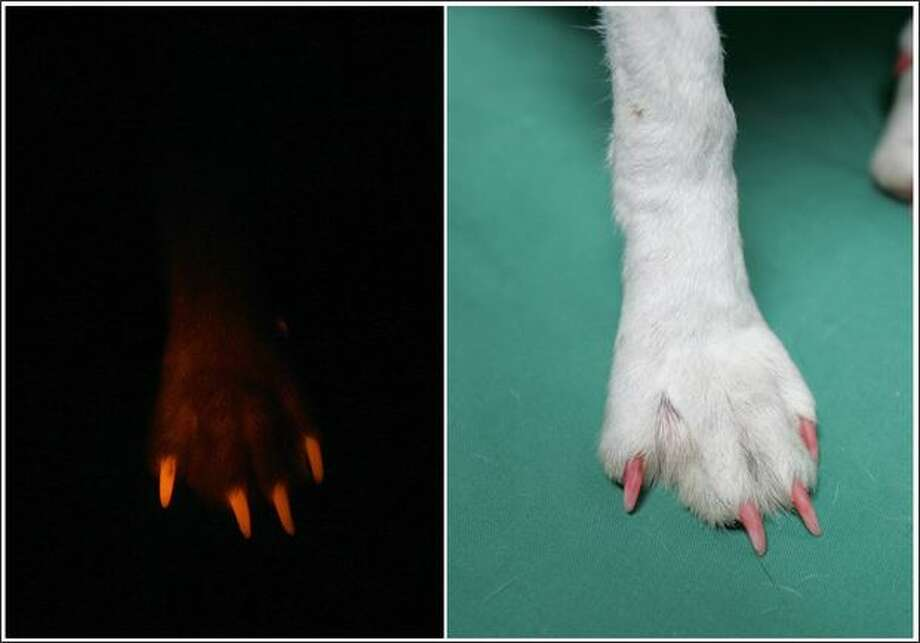 "A combination photo shows a foot of a cloned fluorescent puppy, a three-month-old beagle, glowing in the dark under ultra-violet light (L) and under normal lighting at Seoul National University's College of Veterinary Medicine in Seoul. The puppy is one of ""2nd generation Ruppies"", offspring of ""Ruppy"", the world's first transgenic dog which carries fluorescent genes. They took a fluorescent protein, much like that produced by some sea anenomes, and inserted it into the cell of a beagle. The name ""Ruppy"" is a combination of the words ""Ruby"" and ""Puppy"", and the offsprings of such dogs will possess the same fluorescent gene as their mothers. REUTERS/Jo Yong-Hak Photo: Reuters / Reuters"