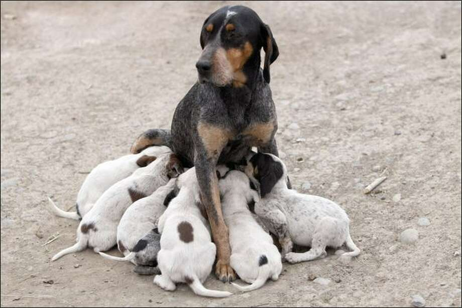 A dog suckles her puppies at Halikisla village of Kars, Turkey, near the border with Armenia. Photo: Getty Images / Getty Images