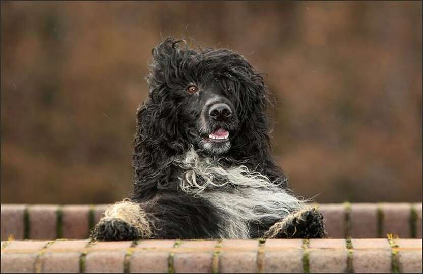 Kix, a Portuguese water dog, enjoys a walk around the muddy fields near his home before grooming and