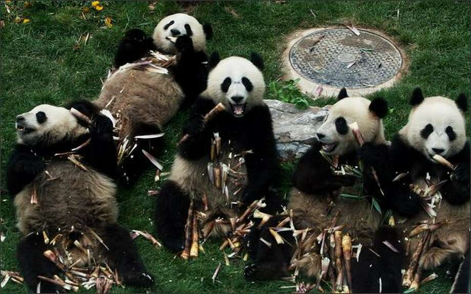 Giant pandas from the quake-hit area eat bamboo at the Beijing Zoo in Beijing, China. The eight giant pandas from the Wolong Giant Panda Reserve, near the epicenter of the deadly earthquake in Sichuan Province, were transported to Beijing by a special plane on May 24 and went on public display at the zoo on June 5. Photo: Getty Images / Getty Images