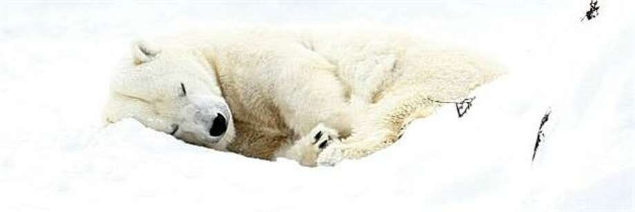 Whiteout:A polar drifts to sleep at the Berlin Zoo. Photo: Marcel Mettelsiefen, AFP / Getty Images / AFP / Getty Images