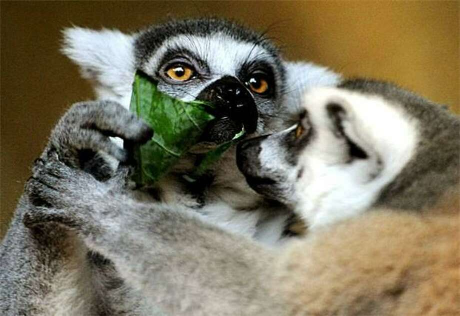 Save some arugula for me! Ring-tailed lemurs share a salad at the Hagenbeck Zoo. Photo: Angelika Warmuth, AFP / Getty Images / AFP / Getty Images