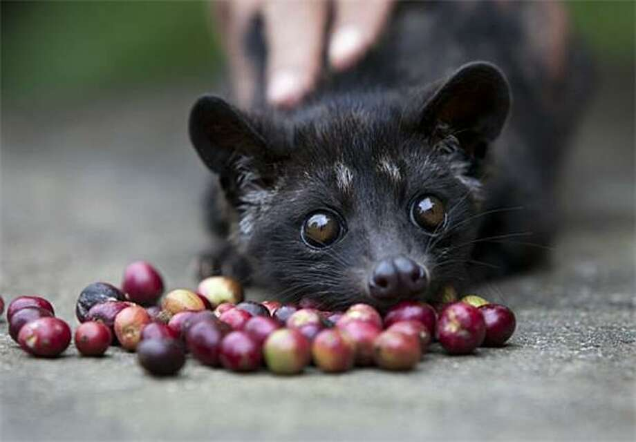 Colon pal: A coffee plantation worker tempts a 4-month-old Luwak, also known as an Asian palm civet, with coffee beans in Tapaksiring, Bali. Luwak coffee, made from beans excreted by the civet, is the most expensive coffee in the world due to the exquisite flavor it acquires from the animal's intestinal system and its limited supply. Photo: Paula Bronstein, Getty Images / Getty Images