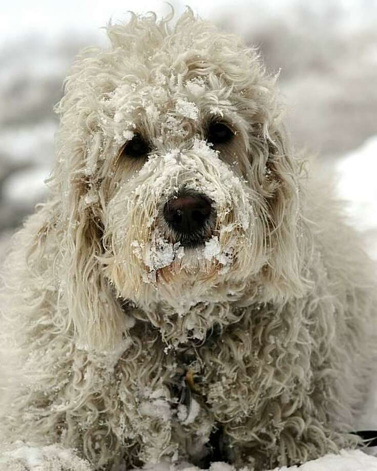 Well, hello, Chewbacca:More than 18 inches of snow falls on New York, making it the whitest January on record. Commuters grumbled, pedestrians slipped, but kids (snow day!) and dogs couldn't have been happier. Photo: Timothy A. Clary, AFP / Getty Images / AFP / Getty Images