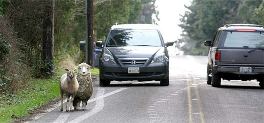 Leave them alone and they'll come home: Shepherd-less sheep try to catch a ride along Sunrise Drive on Bainbridge Island, Wash. Photo: Larry Steagall, Kitsap Sun / Kitsap Sun