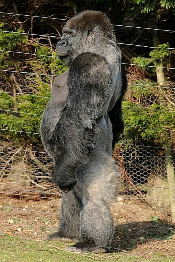 Look, I'm evolving! Walking upright like a human being is a piece of cake for 21-year-old Ambam, a Silverback gorilla at Port Lympne Zoo in Kent, England. Photo: Ben Stansall, AFP / Getty Images / AFP / Getty Images