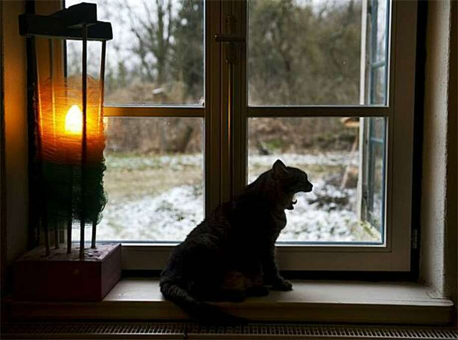 She predicts six more weeks of naps:Window sill cat looks outside its farmhouse in Jamel, Germany, sees its shadow and yawns. Photo: Odd Andersen, AFP / Getty Images / AFP / Getty Images